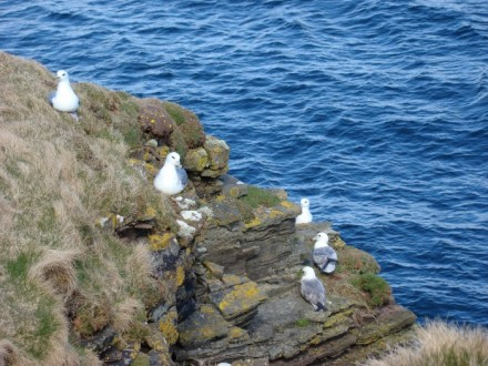 Fulmars on Marwick Head coastal walk