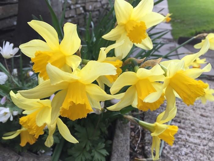 Spring daffodils in Kirkwall