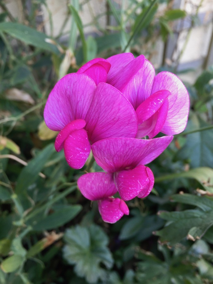 Garden sweet pea